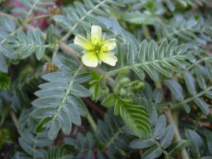Tribulus Terrestris supplement